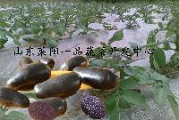 紫玫瑰土豆种薯