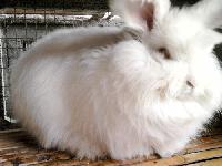 肉兔价格/肉兔养殖场/种兔价格/