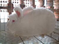 长毛兔种兔养殖场