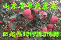 山东省红富士苹果