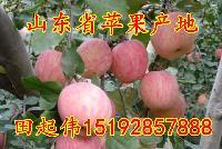 山东红富士苹果销售价格