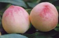 山东油桃价格