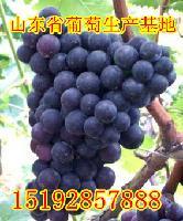 山东省葡萄价格