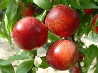 黄油桃价格  最新今日黄油桃产地价格