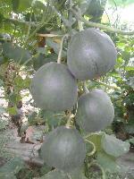 绿宝甜瓜种子
