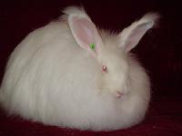肉兔种兔价格   2011肉兔价格