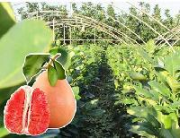 平和琯溪三红肉蜜柚苗