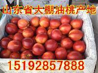 大棚油桃价格