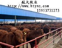 广东小黄牛多少钱一头(2.3月龄改良肉牛犊)