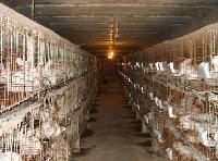 河南肉兔种兔场驻马店杂交野兔多少钱一只