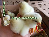 海兰灰蛋鸡苗