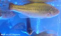 上海鱼苗养殖批发 包送货保活
