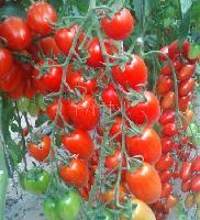 抗TY病毒樱桃番茄种子