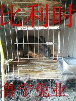 杂交野兔养殖信息