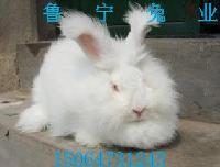 原安哥拉系长毛兔