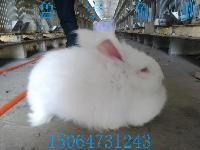六到七斤安哥拉长毛兔价格