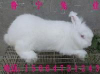 河南安哥拉长毛兔6--7斤种兔