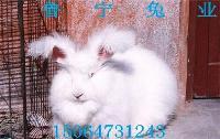 珍珠系长毛兔品种价格