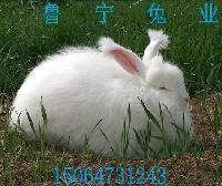 产毛量高的长毛兔价格