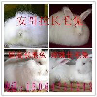 河北品种长毛兔