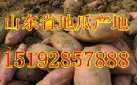 山东省红薯产地价格