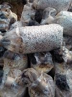 联盛菌业直供黑皮鸡枞菌菌种 黑皮鸡枞菌好种植吗 山东金乡
