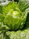 山东大白菜基地2015产地价格