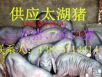 漳州2015年太湖母猪*价格