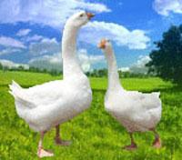鹅雏孵化场出售辽河一号白鹅雏
