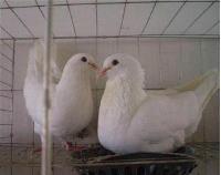 肉鸽种鸽落地王肉鸽