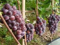 巨峰葡萄批发澳门星际平台  葡萄产地澳门星际平台