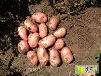 多丰牌荷兰十四土豆