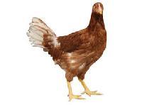 优质海兰褐青年鸡