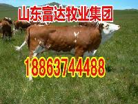 成年母牛多少钱一头
