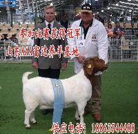 夏洛莱肉牛小牛
