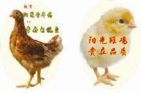 海兰褐育成鸡