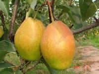 陕西红香酥梨