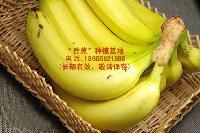 广东湛江香蕉之乡,香蕉产地直供快速到达