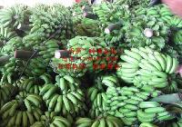 湛江香蕉基地,优质香蕉上市,大量供应,香蕉采购集中地