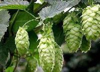 啤酒花提取物啤酒花黄酮5%