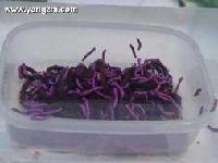 食品级紫胶虫色素