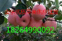 山东省红富士苹果批发产地