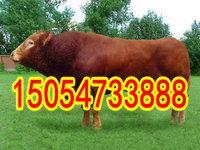 四川肉牛养殖基地