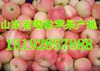山东红嘎啦苹果价格