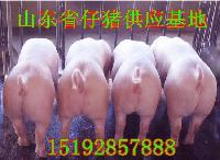 山东省仔猪价格