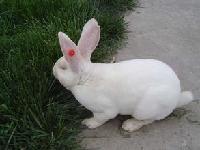 獭兔近期养殖行情 獭兔价格预测獭兔利润