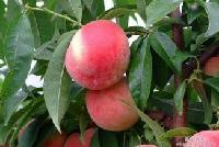 三峰水果供应陕西大荔毛桃种植基地