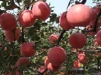 山东苹果收购价格