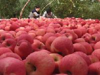 红富士产地批发价格       红富士苹果信息