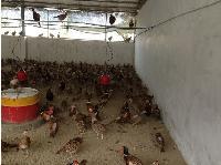 山鸡种苗销售